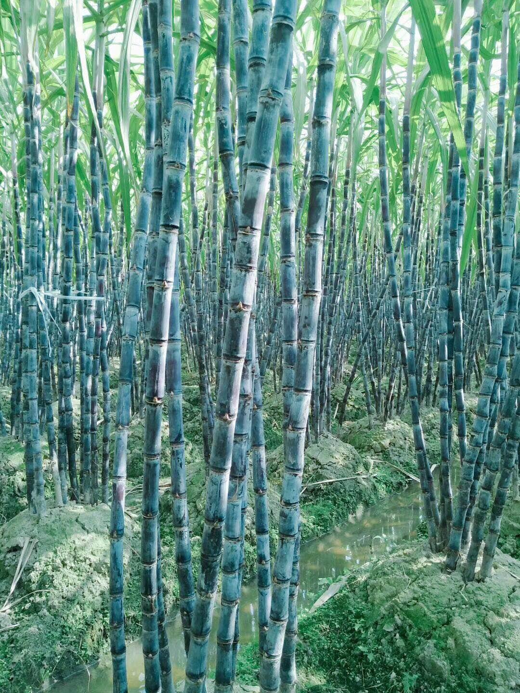 河南省新乡市原阳县甘蔗种植获得突破