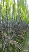 北方甘蔗几月份种植最好