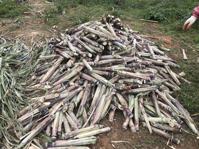 甘蔗种子批发,基地直发