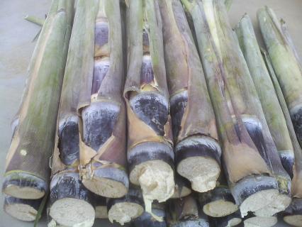 哪里有北方甘蔗种子种植时间