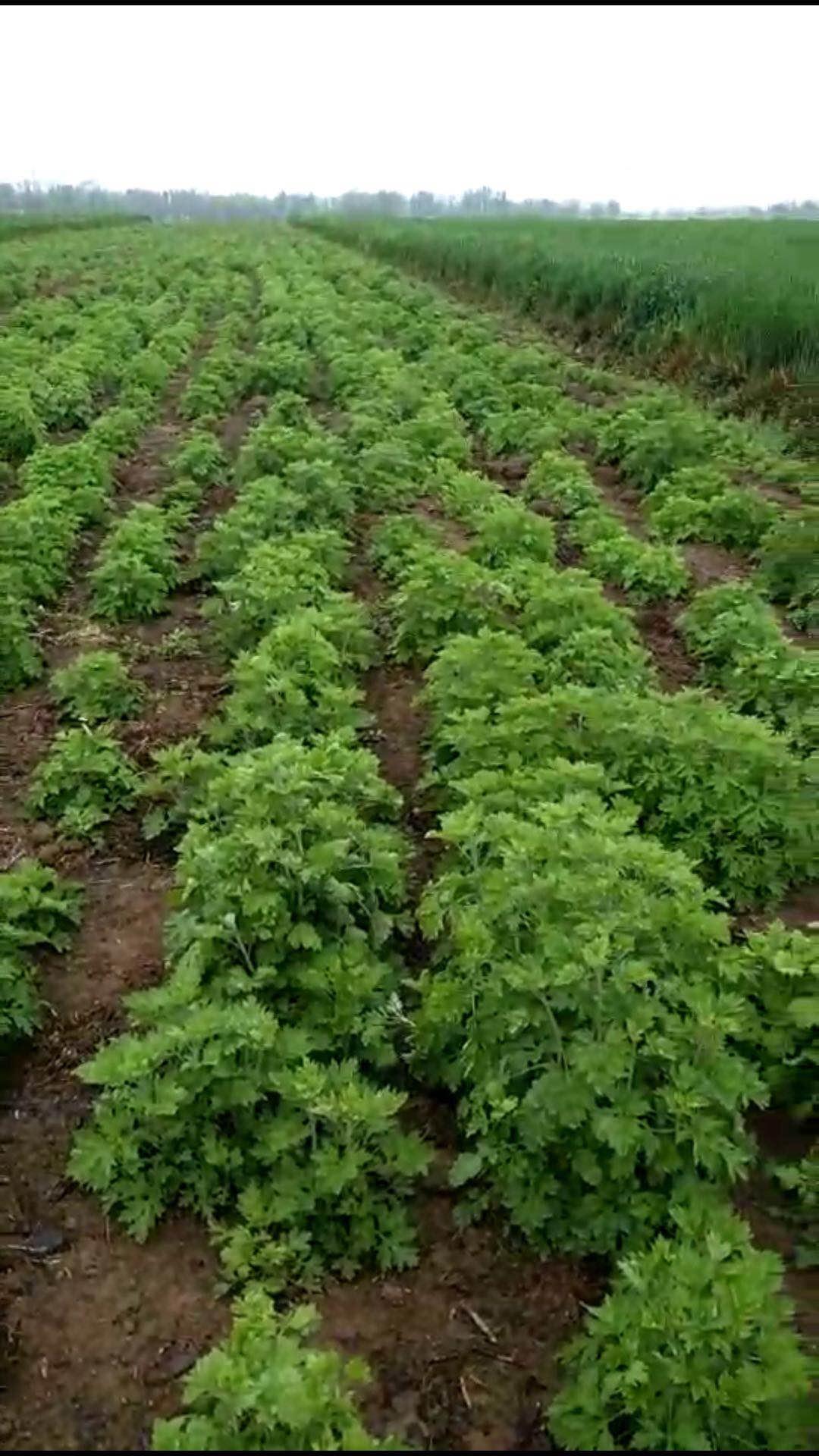 艾草种子对产量和效益的影响
