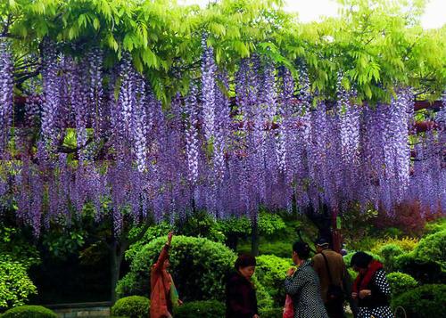 紫藤花树苗价格