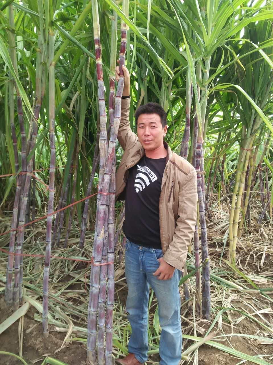 黑皮甘蔗种植技术