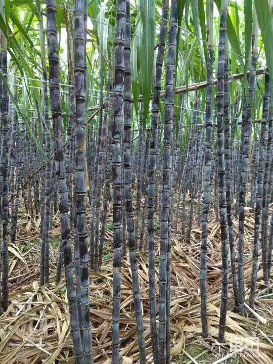 黑皮甘蔗几月种植