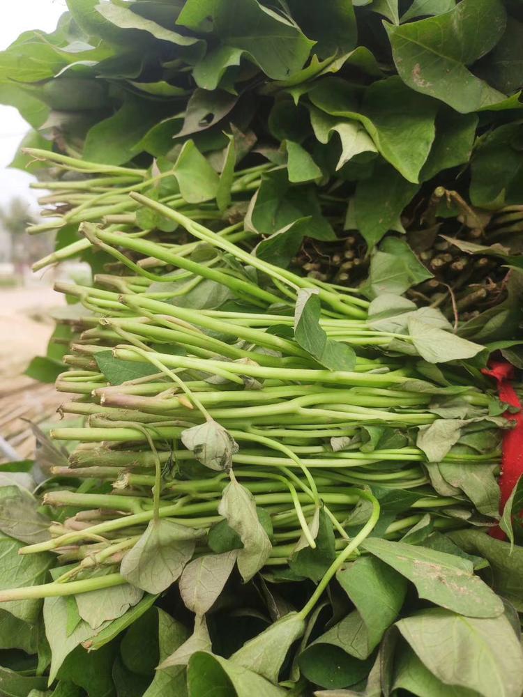 西瓜红红薯种苗