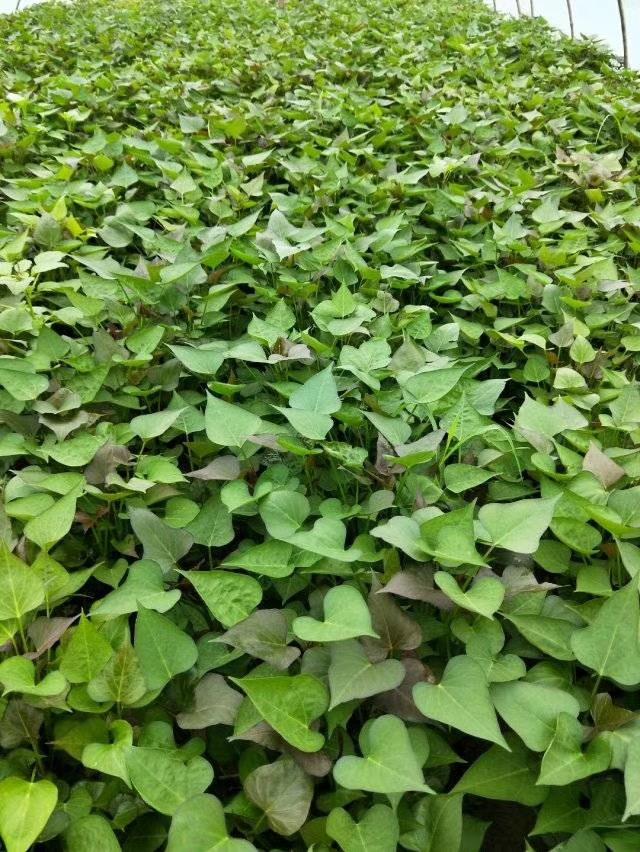 西瓜红红薯苗多少钱钱一棵,基地直发价格便宜