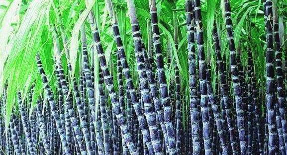 甘蔗种植方法和技术