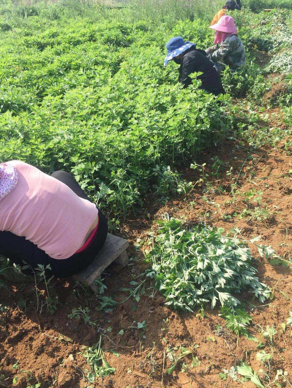 河南哪里种植艾草的基地