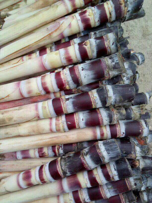 甘蔗种子图片,带你去了解甘蔗种子