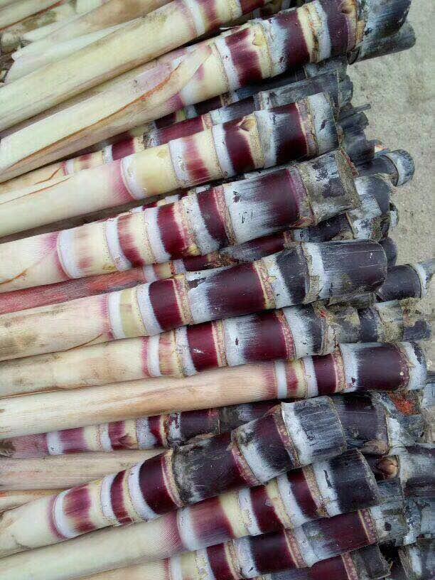 甘蔗种子_适合北方种植品种