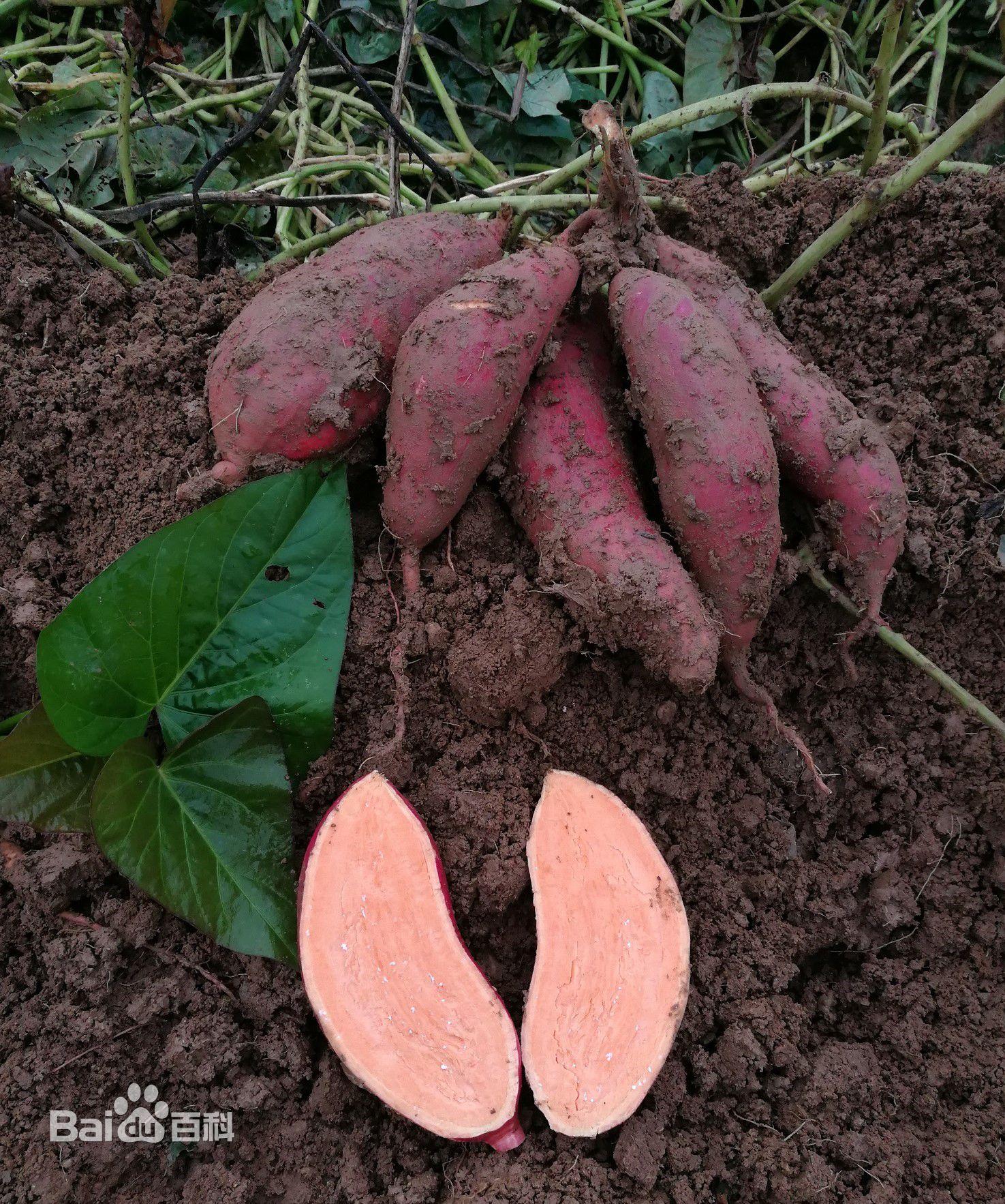 西瓜红红薯批发价格