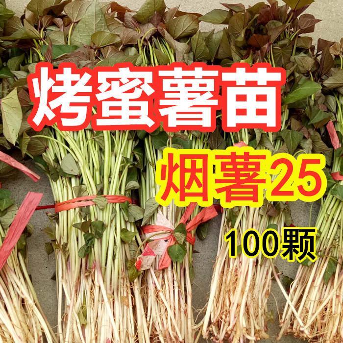 烟薯25红薯苗多少钱一棵